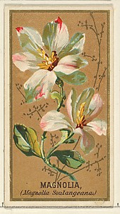 Magnolia (Magnolia Soulangeana), from the Flowers series for Old Judge Cigarettes