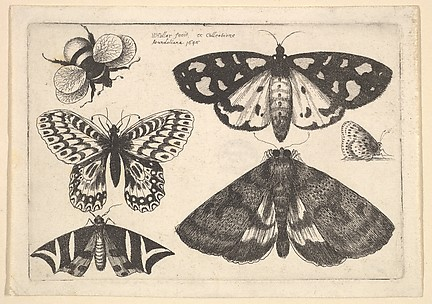 Three Moths, Two Butterflies and a BumbleBee, from Butterflies and Insects, Muscarum scarabeorum