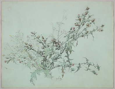 Study of a Flowering Thistle