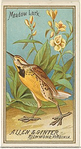 Meadow Lark, from the Birds of America series (N4) for Allen & Ginter Cigarettes Brands