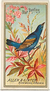 Blue Bunting, from the Birds of America series (N4) for Allen & Ginter Cigarettes Brands