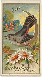 Catbird, from the Birds of America series (N4) for Allen & Ginter Cigarettes Brands