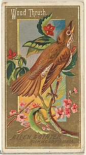 Wood Thrush, from the Birds of America series (N4) for Allen & Ginter Cigarettes Brands