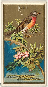 Robin, from the Birds of America series (N4) for Allen & Ginter Cigarettes Brands