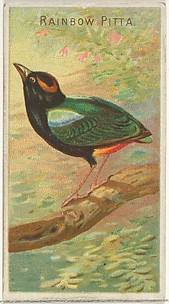 Rainbow Pitta, from the Birds of the Tropics series (N5) for Allen & Ginter Cigarettes Brands