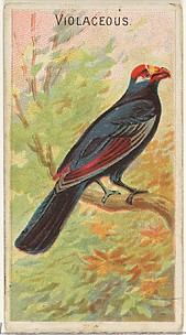 Violaceous, from the Birds of the Tropics series (N5) for Allen & Ginter Cigarettes Brands