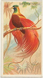 Red Bird of Paradise, from the Birds of the Tropics series (N5) for Allen & Ginter Cigarettes Brands