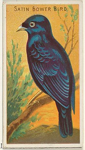 Satin Bower Bird, from the Birds of the Tropics series (N5) for Allen & Ginter Cigarettes Brands