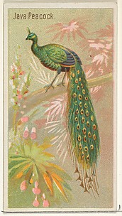 Java Peacock, from the Birds of the Tropics series (N5) for Allen & Ginter Cigarettes Brands