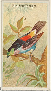 Paradise Tanager, from the Birds of the Tropics series (N5) for Allen & Ginter Cigarettes Brands