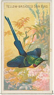 Yellow-Breasted Sun Bird, from the Birds of the Tropics series (N5) for Allen & Ginter Cigarettes Brands