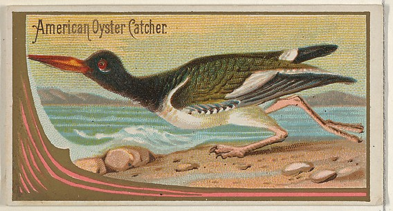 American Oyster Catcher, from the Game Birds series (N13) for Allen & Ginter Cigarettes Brands