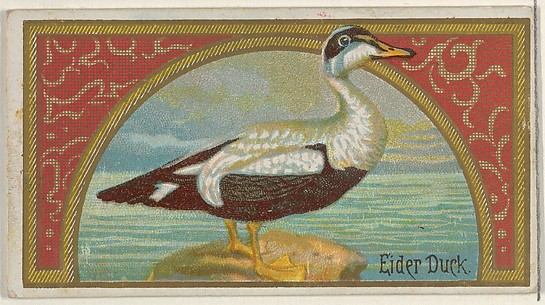 Eider Duck, from the Game Birds series (N13) for Allen & Ginter Cigarettes Brands