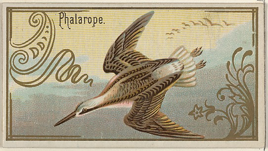 Phalarope, from the Game Birds series (N13) for Allen & Ginter Cigarettes Brands