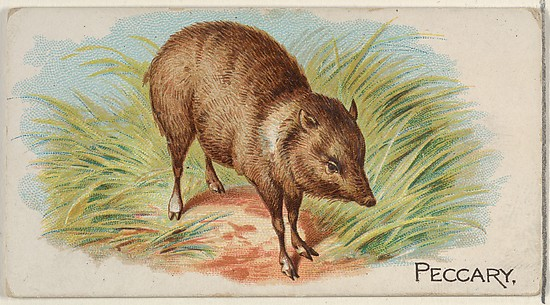 Peccary, from the Quadrupeds series (N21) for Allen & Ginter Cigarettes