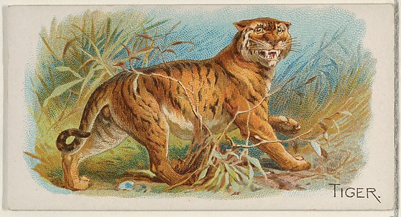 Tiger, from the Quadrupeds series (N21) for Allen & Ginter Cigarettes
