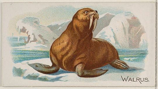 Walrus, from the Quadrupeds series (N21) for Allen & Ginter Cigarettes