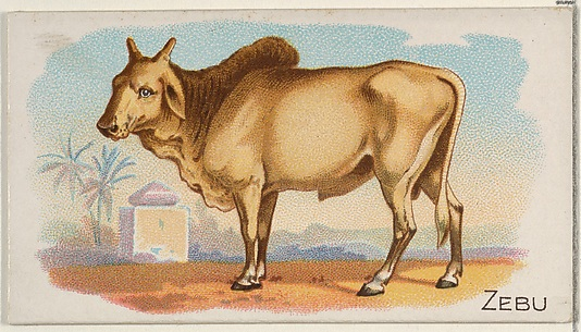 Zebu, from the Quadrupeds series (N21) for Allen & Ginter Cigarettes