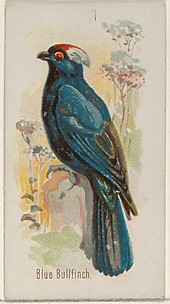 Blue Bullfinch, from the Song Birds of the World series (N23) for Allen & Ginter Cigarettes