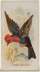 Crested Malimbus, from the Song Birds of the World series (N23) for Allen & Ginter Cigarettes