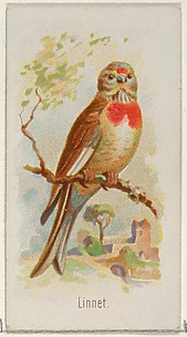 Linnet, from the Song Birds of the World series (N23) for Allen & Ginter Cigarettes