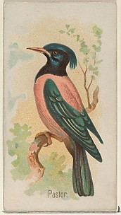 Pastor, from the Song Birds of the World series (N23) for Allen & Ginter Cigarettes