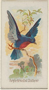 Purple-breasted Chatterer, from the Song Birds of the World series (N23) for Allen & Ginter Cigarettes