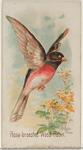 Rose-breasted Wood Robin, from the Song Birds of the World series (N23) for Allen & Ginter Cigarettes