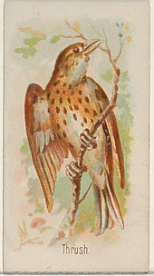 Thrush, from the Song Birds of the World series (N23) for Allen & Ginter Cigarettes