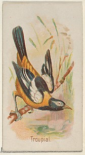Troupial, from the Song Birds of the World series (N23) for Allen & Ginter Cigarettes