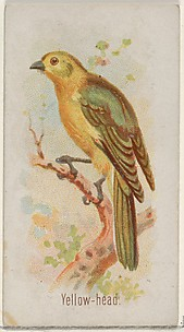Yellow-head, from the Song Birds of the World series (N23) for Allen & Ginter Cigarettes