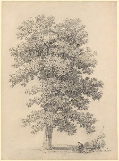 A Plane Tree