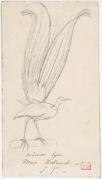 A Lyre Bird