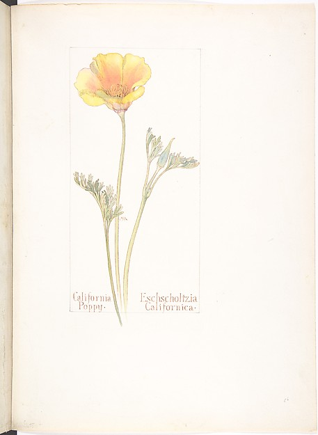 California Poppy, Eschscholtzia Californica