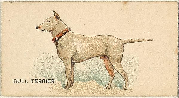 Bull Terrier, from the Dogs of the World series for Old Judge Cigarettes