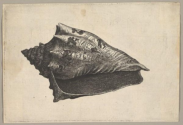 Shell, Voluta ebraea L.