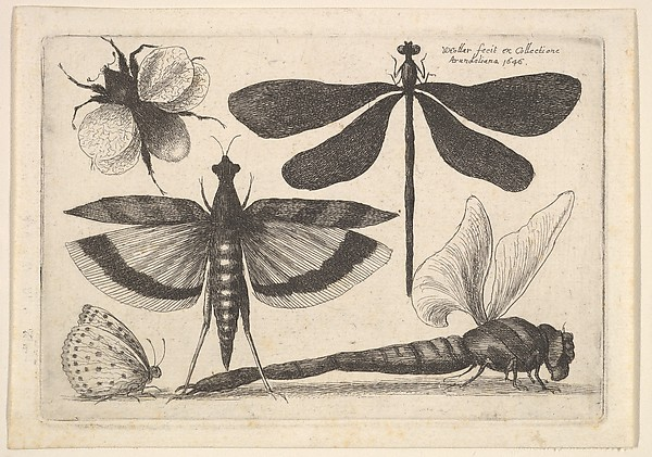Dragonflies and a Bumblebee, Butterflies and Insects, Muscarum scarabeorum