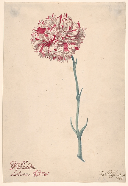 "A Carnation (""Hollandia Liberata"")"