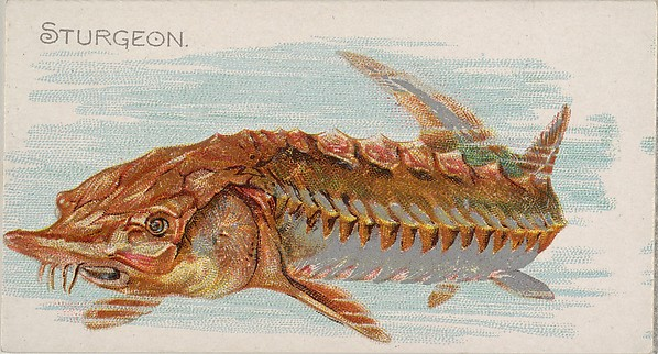 Sturgeon, from the Fish from American Waters series (N8) for Allen & Ginter Cigarettes Brands