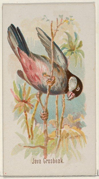 Java Grosbeak, from the Song Birds of the World series (N23) for Allen & Ginter Cigarettes