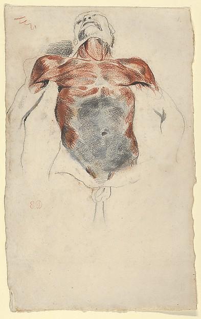 Ecorché: Torso of a Male Cadaver