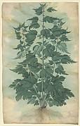 "Botanical Specimen (Motherwort or ""Leonurus cardiaca"")"