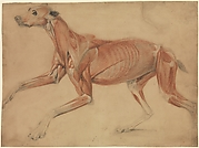 A Full Size Écorché Study of a Hound