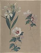 Study of Hibiscus Plants