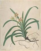 "Study of an Orchid, ""Vanda Roxburgia"""