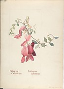 Pride of California, Lathyrus Splendens