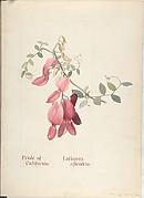 Pride of California, Lathyrus Splendens