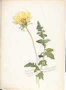 Cut-leaved Balsam Root, Balsamorrhiza macrophylla