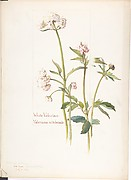 White Valerian, Valeriana sitchensis