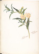 Bush Monkey-flower, Diplacus longiflorus